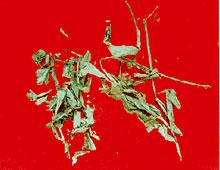 清热药――鸭跖草