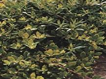 利水渗湿药――垂盆草