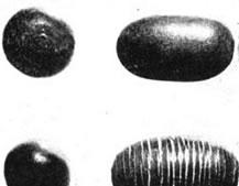 活血化瘀药――苦石莲