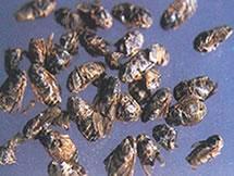 活血化瘀药――虻虫