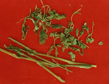 化湿药――广藿香