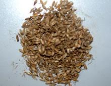 消食药――稻芽