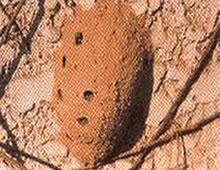外用药――土蜂房