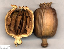 收涩药――罂粟壳