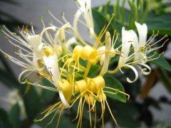 如何栽培金银花